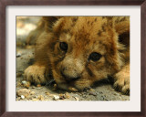 Lion Cub, Budapest, Hungary Framed Photographic Print by Bela Szandelszky