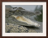 A Young Saltwater Crocodile Framed Photographic Print