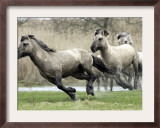 Wild Konik Stallions near Gelting, Germany Framed Photographic Print by Heribert Proepper