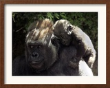 A Baby Gorilla Rests on His Mother Julia's Shoulder Framed Photographic Print