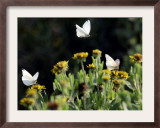 Butterflies Land on Wild Flowers at Boca Chica, Texas Framed Photographic Print by Eric Gay