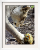 Kutchani, a Female Lion Plays with a Pumpkin at Sydney's Taronga Zoo, October 31, 2005 Framed Photographic Print by Mark Baker