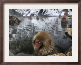 Japanese Macaques Soak in a Hot Spring Pool at Jigokudani Monkey Park in the Mountains Framed Photographic Print