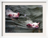 Pigs Compete Swimming Race at Pig Olympics Thursday April 14, 2005 in Shanghai, China Framed Photographic Print by Eugene Hoshiko