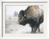 Buffalo Looks for Something to Eat in Blowing Snow at the Terry Bison Ranch, Wyoming Framed Photographic Print
