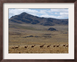 Protected Vicunas, Run on an Andean Plain Near Ayacucho Framed Photographic Print