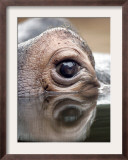 Eye of Hippo at Season Opening of Zoom Erlebniswelt Adventure Park in Gelsenkirchen, Germany Framed Photographic Print