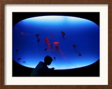 A Visitor Looks at the Jellyfish Called Brown Sea Nettle Framed Photographic Print
