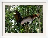 A Fruit Bat at the Tolga Bat Hospital Framed Photographic Print