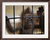 Young Orangutan Hold on to the Bars of a Cage at the Duisburg Zoo Framed Photographic Print