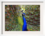A Peacock Spreads its Feathers at the Alipore Zoo Framed Photographic Print