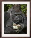 Male Lowland Gorilla with an Easter Basket Given to Him by His Keepers at the Cincinnati Zoo Framed Photographic Print