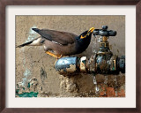 A Nightingale Quenches its Thirst from a Leaking Tap During a Sizzling Day Framed Photographic Print