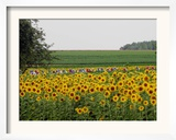 The Pack Rides Past a Sunflower Field During the Sixth Stage of the Tour De France Framed Photographic Print