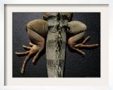 Shabango, an 8-Year-Old Iguana Framed Photographic Print by Carolyn Kaster