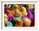Artificially Colored Chicks Crowd Together Framed Photographic Print