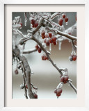 A Fruit Tree is Covered in Ice Monday, January 15, 2007 Framed Photographic Print by Al Maglio