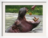 Keeper Feeds a Hippopotamus at the Kiev's Zoo, Ukraine Framed Photographic Print