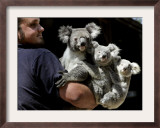 Head Keeper at Sydney's Koala Park Holds 'Kamara' and Her Two One Year-Old Babies Framed Photographic Print