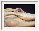 Blizzard, an 8-Foot Adult Albino Alligator Framed Photographic Print