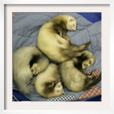A Pack of Ferrets Clockwise from Top, Chewbacca, Hobart, Dixie B, Wolfgang Amadeaus Motzart Framed Photographic Print by Carolyn Kaster