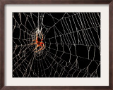 A Spider Rests Framed Photographic Print