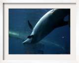 A Dolphin Swims Upside Down Framed Photographic Print