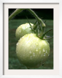 Raw Green Tomatoes are Tasty, But Astringent. Framed Photographic Print
