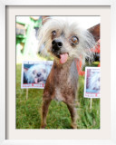 Miss Ellie Competes in World's Ugliest Dog Contest at Sonoma-Marin Fair in Petaluma, California Framed Photographic Print