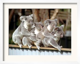 Four Australian Koalas are Shown on a Fence at Dreamworld on Queensland's Gold Coast Framed Photographic Print