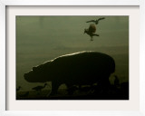 Birds Fly over a Hippopotamus at the Ramat Gan Safari, Israel Framed Photographic Print