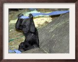 Kimani, an Endangered Female Western Lowland Gorilla Framed Photographic Print