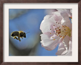 Bee Flies Towards the Blossom of an Almond Tree in a Park in Freiburg, Southern Germany Framed Photographic Print
