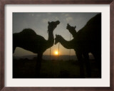 Camels at the Annual Cattle Fair in Pushkar, India, November 2, 2006 Framed Photographic Print by Rajesh Kumar Singh