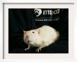Roland, a One-Year-Old Domestic Rat, is Held at the Mspca in Boston Thursday, May 26, 2005 Framed Photographic Print by Elise Amendola
