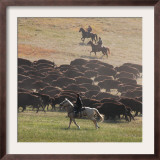 Buffalo Kick up Dust as Horseback Riders Keep Them Moving at the Custer State Park Buffalo Roundup Framed Photographic Print