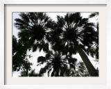 Sabal Palms near Border Fence, Brownsville, Texas Framed Photographic Print by Eric Gay