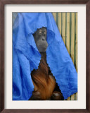 Orang-Utang Daisy is Covered with Sheet, Sleeping in Her Enclosure in Zoological Garden in Dresden Framed Photographic Print