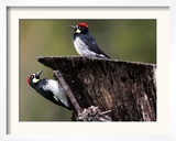 A Pair of Acorn Woodpeckers Find Their Food on a Tree at Rancho San Antonio Park Framed Photographic Print