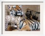 Six-Year-Old Bengal Tigress Rosi Framed Photographic Print