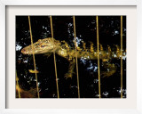 An Unusual White Alligator Framed Photographic Print