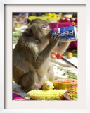 A Monkey Drinks Cola Framed Photographic Print
