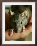 Twinkee, a 14-Week-Old Baby Domestic Rat, is Held at the Mspca in Boston Thursday, May 26, 2005 Framed Photographic Print by Elise Amendola