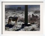 Pferde Im Winterfell Grasen Auf Einer Raureifueberzogenen Weide Am Titisee Framed Photographic Print by Winfried Rothermel
