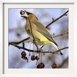 Cedar Waxwing Tosses Up a Fruit from a Flowering Crab Tree at the Town Hall Framed Photographic Print