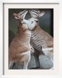 These Two Kangaroos Frolic in the Cold at Munich's Zoological Garden Hellabrunn Framed Photographic Print