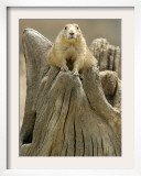 A Black-Tailed Prairie Dog Finds a Nice Perch Framed Photographic Print