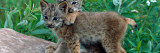Pair of Lynx Kittens Playing on Rock, Minnesota Wall Decal