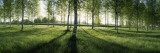 Birch Trees in a Forest, Imatra, South Karelia, Southern Finland Wallstickers af Panoramic Images