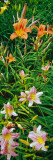 Day Lilies Blooming Autocollant mural